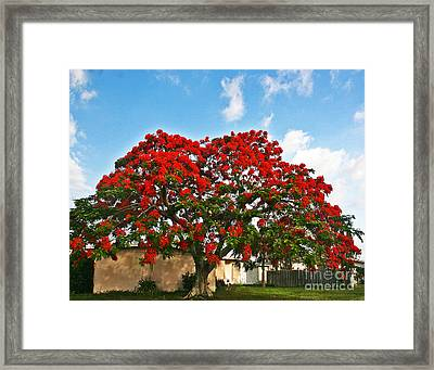 Royal Panciana Tree Framed Print