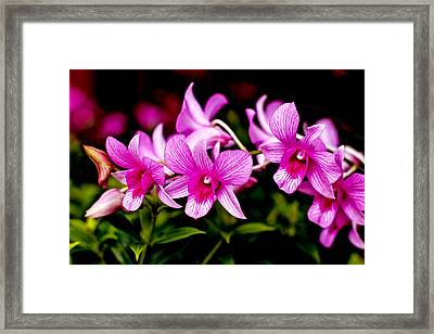 Royal Pink Orchid Framed Print by Donald Chen