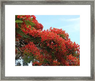 Royal Poinciana Branch Framed Print by Mary Deal