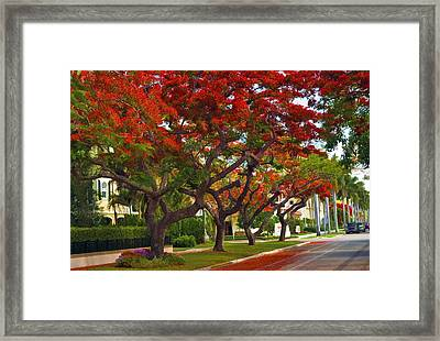 Royal Poinciana Trees In Blooming In South Florida Framed Print