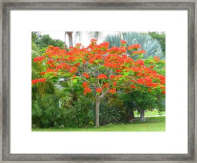 Framed Print featuring the photograph Royal Poinciana by Kay Gilley