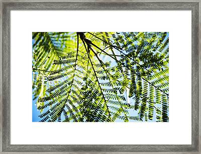 Royal Poinciana Tree Framed Print by Charmian Vistaunet