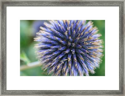 Royal Purple Scottish Thistle Framed Print