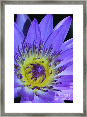Royal Purple Water Lily #11 Framed Print