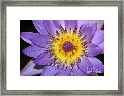Royal Purple Water Lily #12 Framed Print