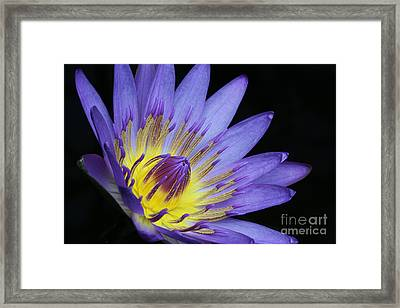 Royal Purple Water Lily #14 Framed Print