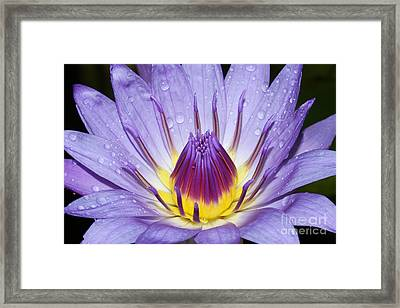 Royal Purple Water Lily #3 Framed Print