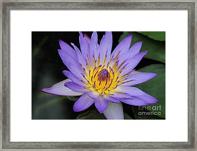 Royal Purple Water Lily #4 Framed Print