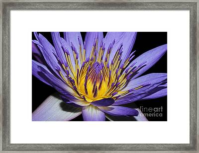 Royal Purple Water Lily #5 Framed Print by Judy Whitton