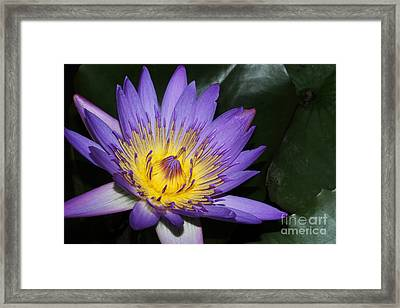 Royal Purple Water Lily #6 Framed Print