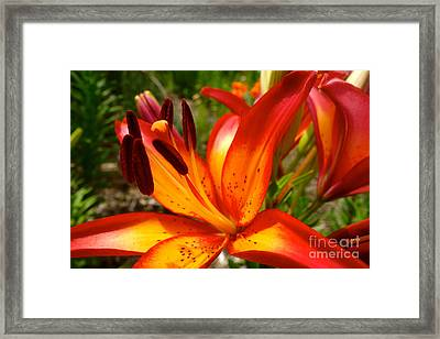 Royal Sunset Lily Framed Print by Jacqueline Athmann