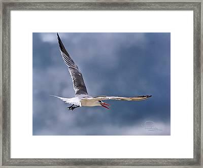 Royal Tern 1 Framed Print