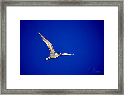 Royal Tern 2 Framed Print