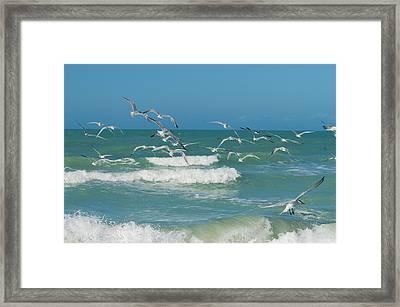 Royal Tern Frenzy Framed Print by Kim Hojnacki