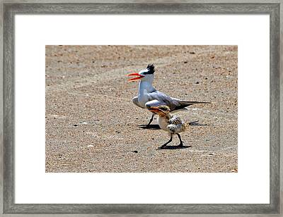 Royal Tern With Chick Framed Print by Ludwig Keck