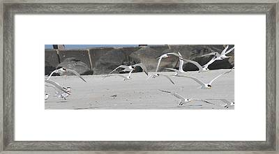 Royal Terns 3 Framed Print by Cathy Lindsey