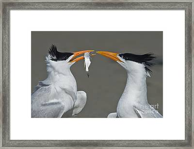 Royal Terns Framed Print by Anthony Mercieca