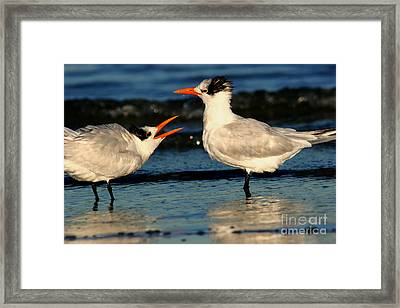 Framed Print featuring the photograph Royal Tern Courtship Dance by John F Tsumas