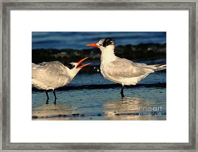 Royal Tern Courtship Dance Framed Print