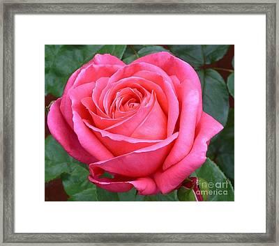Royale Magenta Rose Framed Print