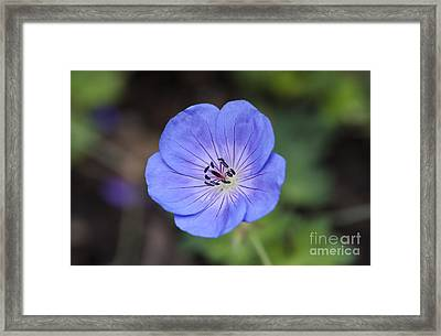 Rozanne Geranium Framed Print