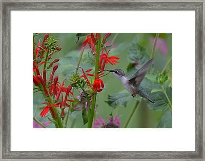 Ruby And Cardinal Framed Print