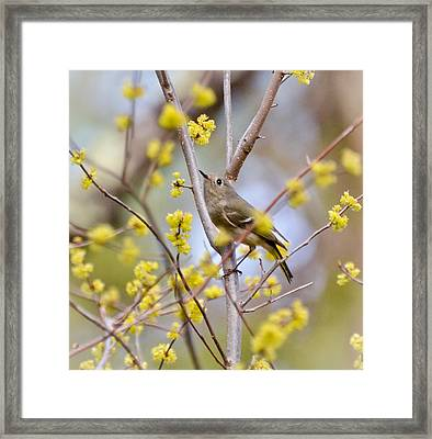 Framed Print featuring the photograph Ruby-crowned Kinglet by Kerri Farley