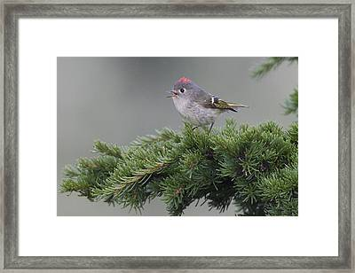 Ruby-crowned Kinglet Perched On A Tree Framed Print