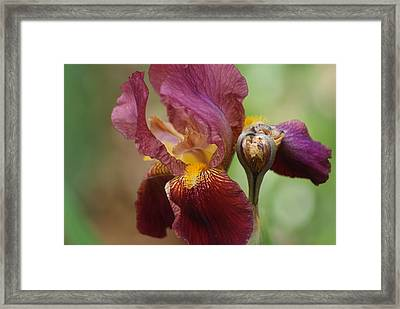 Ruby Iris Framed Print