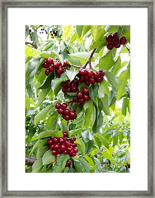 Ruby Red Cherries Framed Print by Carol Groenen