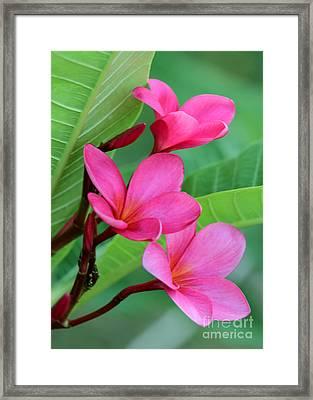 Ruby Red Frangipani Framed Print by Sabrina L Ryan