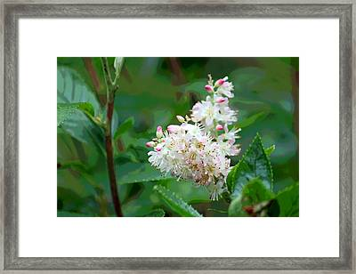 Ruby Spice - Clethraceae Framed Print by Suzanne Gaff