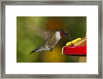 Ruby-throat Hummer Sipping Framed Print