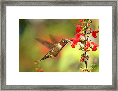 Ruby Throat Hummingbird Photo Framed Print