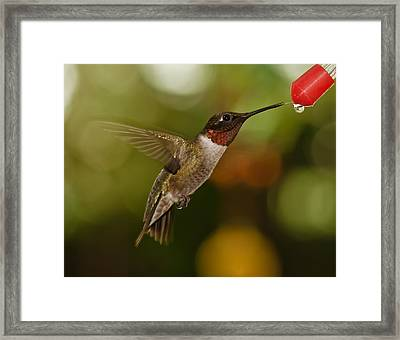 Ruby-throat Hummingbird Framed Print
