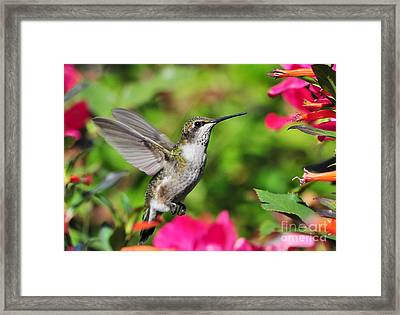 Framed Print featuring the photograph Ruby Throated Humingbird by Kathy Baccari
