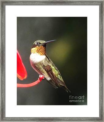 Ruby Throated Hummingbird 2 Framed Print