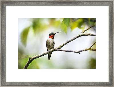 Ruby Throated Hummingbird Framed Print by Christina Rollo
