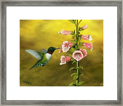 Ruby Throated Hummingbird And Foxglove Framed Print by Rick Bainbridge