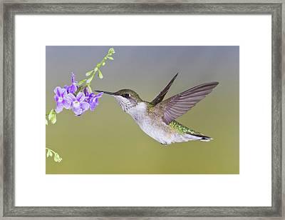 Ruby-throated Hummingbird (archilochus Framed Print