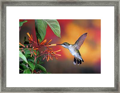 Ruby-throated Hummingbird Archilochus Framed Print by Panoramic Images