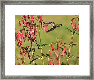 Ruby Throated Hummingbird Framed Print by Chris Flees