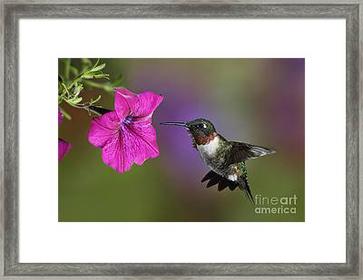 Ruby-throated Hummingbird - D004190 Framed Print