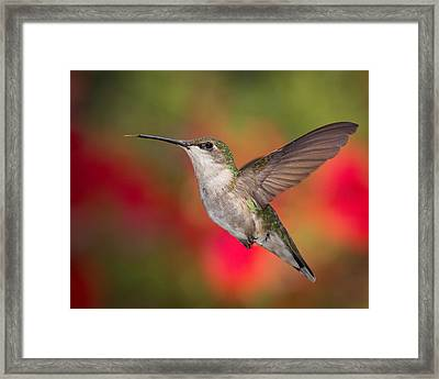 Ruby Throated Hummingbird Framed Print