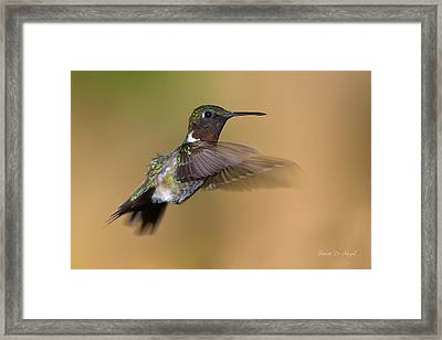 Ruby-throated Hummingbird Framed Print by Everet Regal