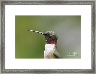 Ruby-throated Hummingbird Male 11704-1 Framed Print