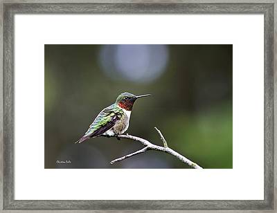 Ruby Throated Hummingbird Spotlight Framed Print by Christina Rollo