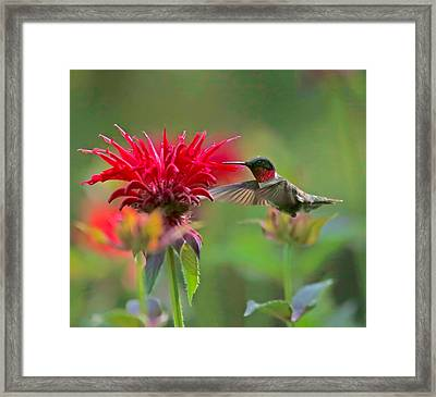 Ruby Throated Hummingbird With Beebalm Framed Print by Clare VanderVeen