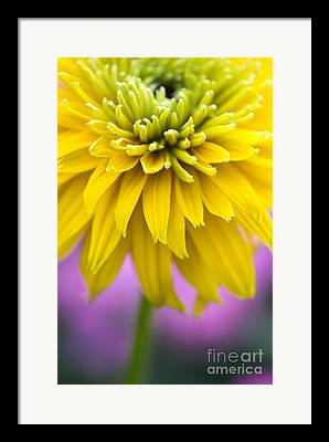 Abstracted Coneflowers Photographs Framed Prints