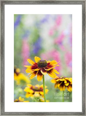 Rudbeckia Hirta Framed Print by Tim Gainey